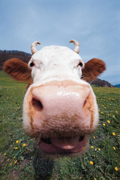 Social Cowstancing: Radiowerbung mit Corona-Bezug muss nicht schmerzverzerrt klingen